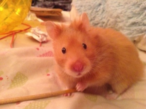 This is Victoria Hecnar's hamster, Hammie. She's a cutie-pie, we know.